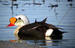 Male King Eider with satellite transmitter, Alaska.