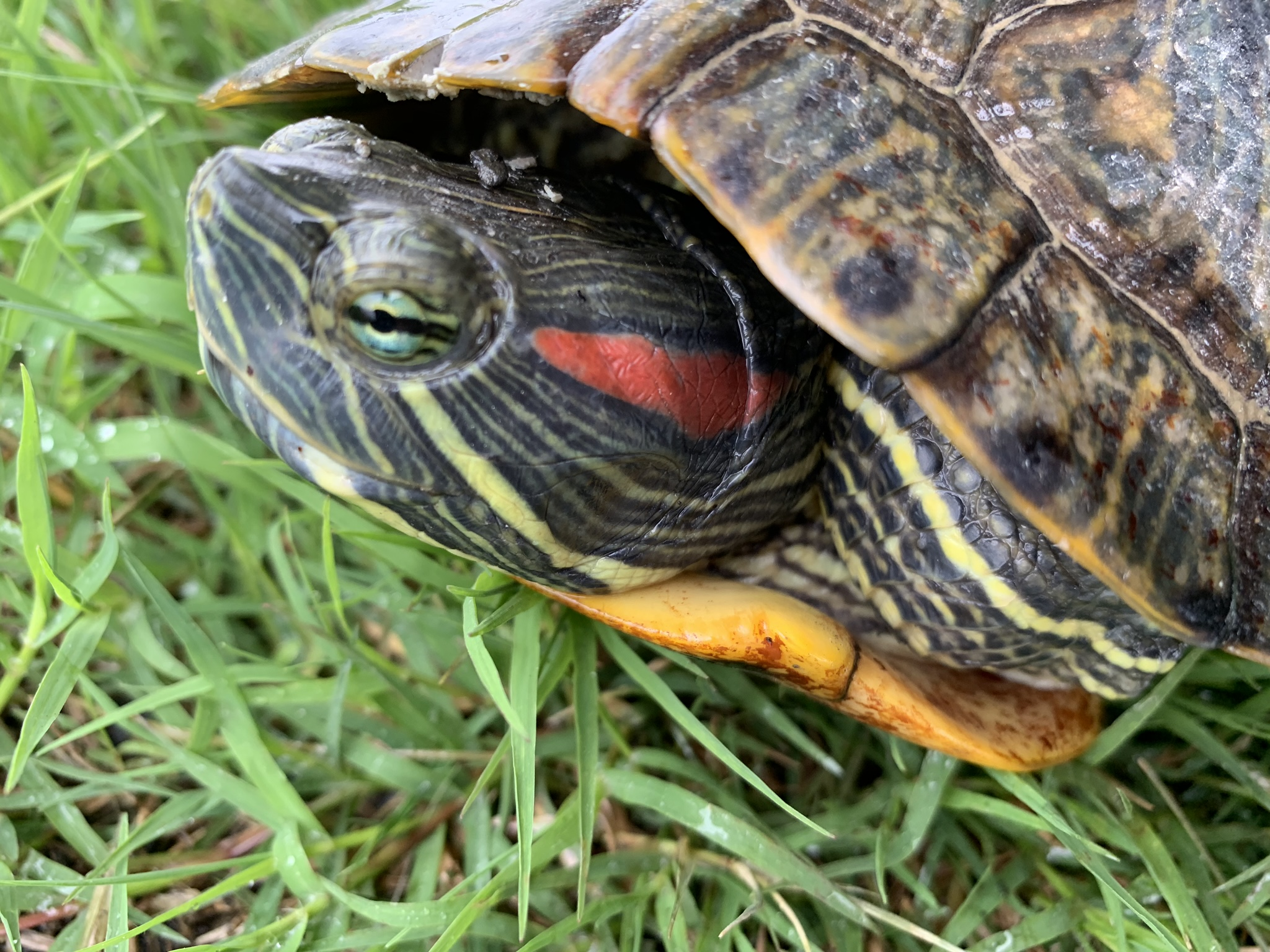 The red-eared slider is the most commonly harvested freshwater turtle in Arkansas. Data are needed to understand the effects of commercial harvest on turtle populations.