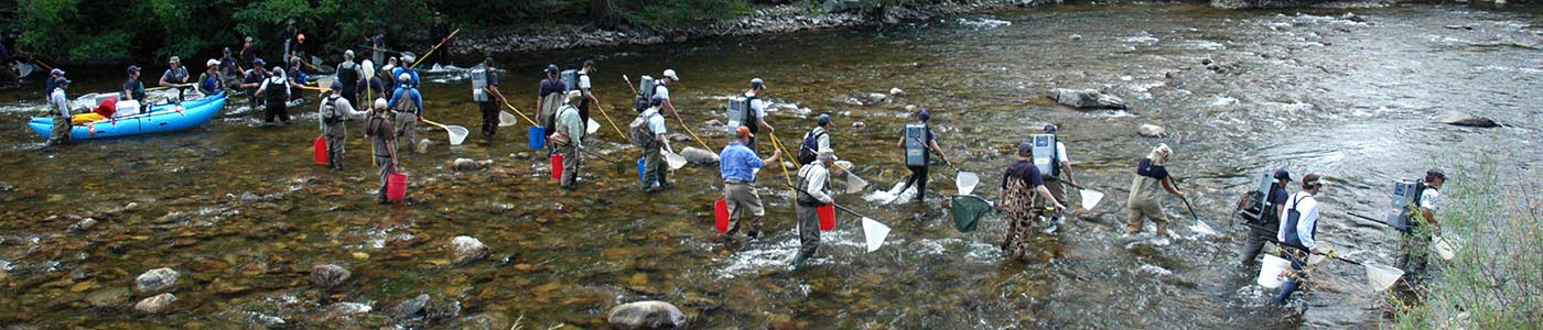 Electrofishing crew removing brown trout for a study evaluating the stocking of whirling disease resistant rainbow trout.