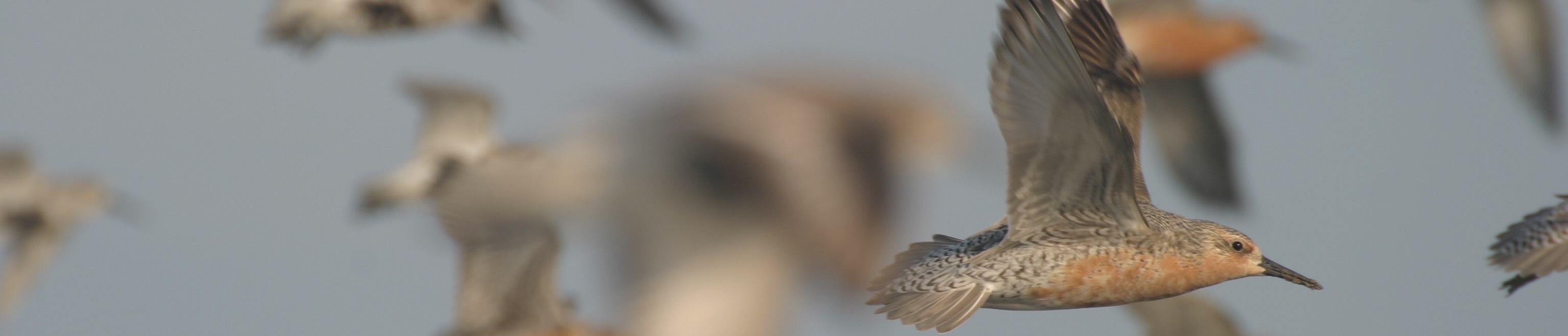The southeastern U.S. supports important stop over and overwintering areas for Red Knots.