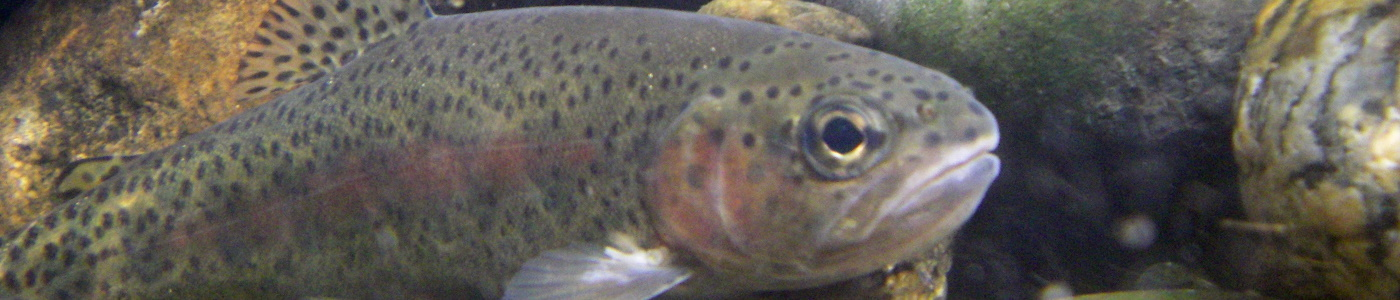 Rainbow trout are an important sportfish in Georgia.