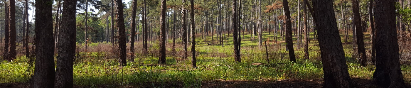 Longleaf pine stand near Tall Timbers Research Station. Credit: Adam Terando; USGS Image Library