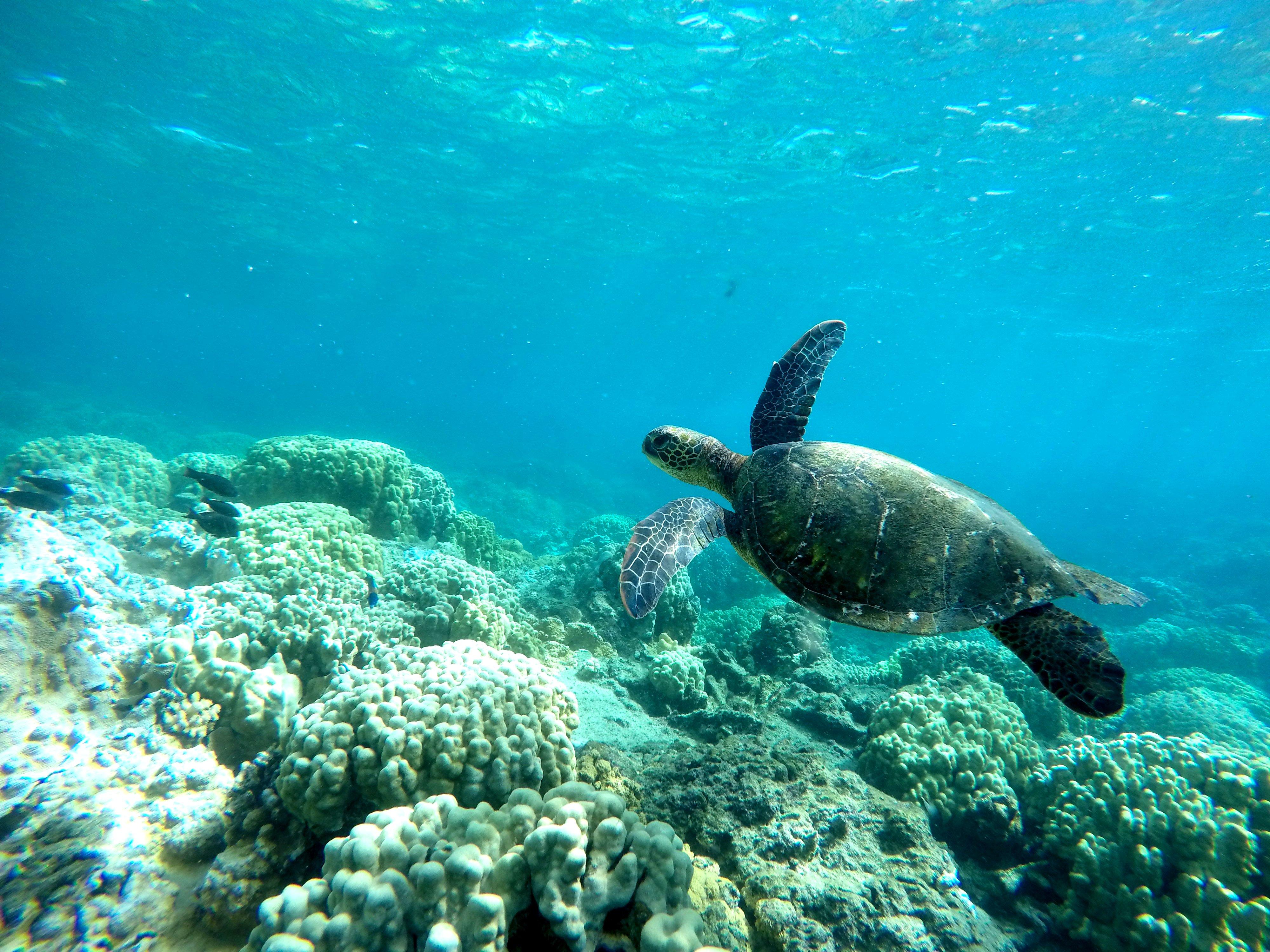 A Green Sea Turtle (Honu) cruises past a stationary camera deployed at the tidepools at Waiopae, Hawaii Island.