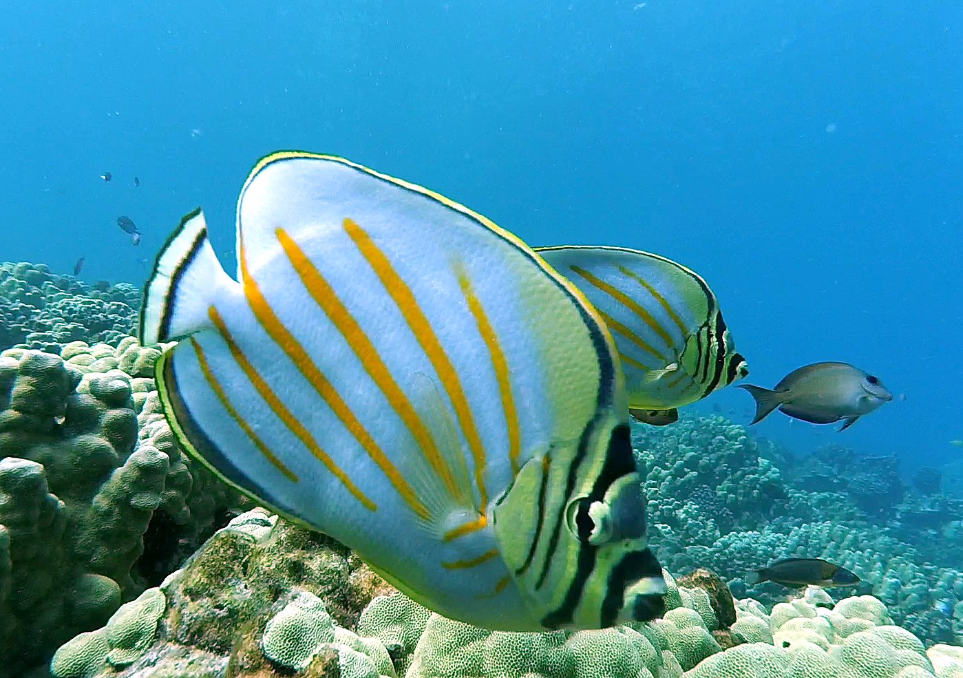 An Ornamental Butterflyfish examines a stationary camera deployed at Kealakekua, Hawaii Island.