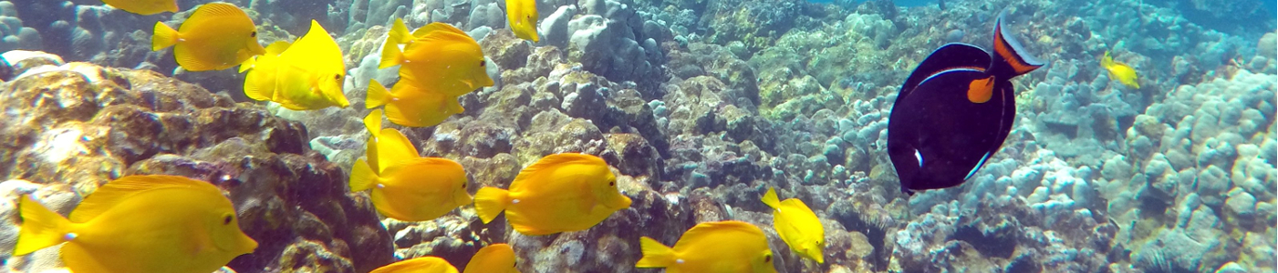A shoal of Yellow Tang (Lau'i Pala) approaches an Achilles Surgeonfish (Pakuikui) on the reef at Kealakekua, Hawaii Island.