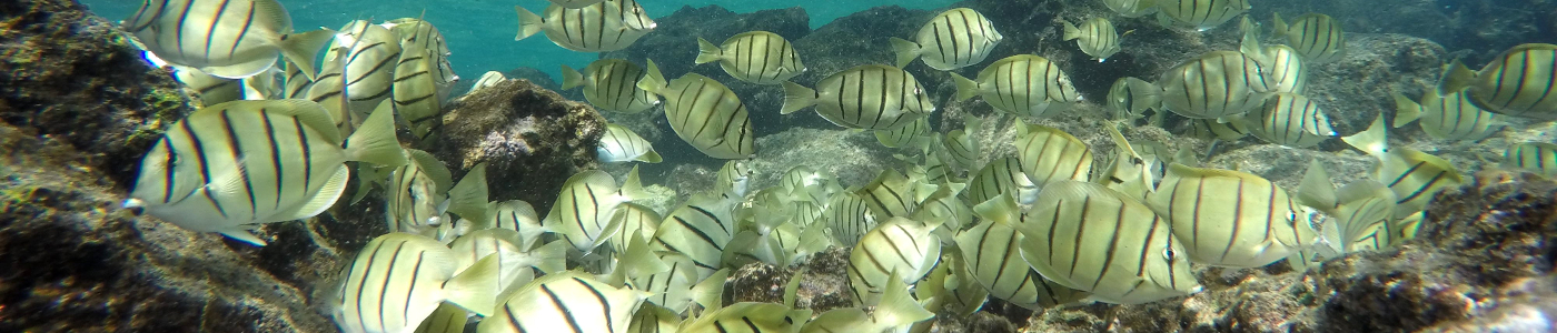 A school of Convict Surgeonfish (Manini) feeding in the tidepools at Waiopae on Hawaii Island.