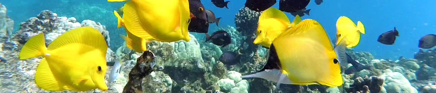 A mix of reef fishes investigate a stationary camera placed on the fore reef at Kealakekua, Hawaii Island.