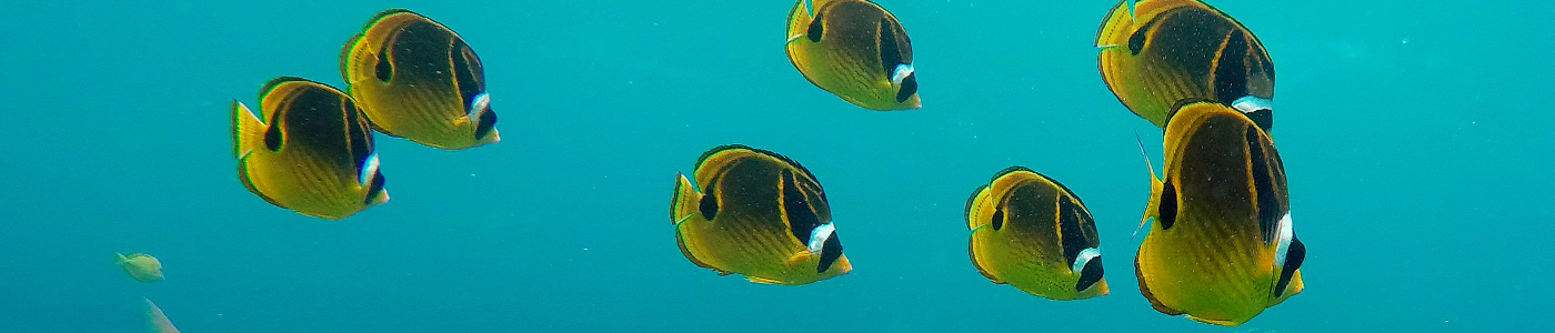 A shoal of Raccoon Butterflyfish swim above the reef at Honaunau, Hawaii Island.