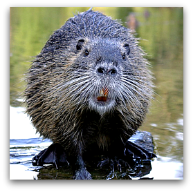 The North American beaver is a species that is common throughout much of Massachusetts and is a link between aquatic and terrestrial ecosystems.
