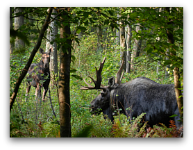 Bull moose with GPS collar and cow moose in a wetland in Massachusetts.