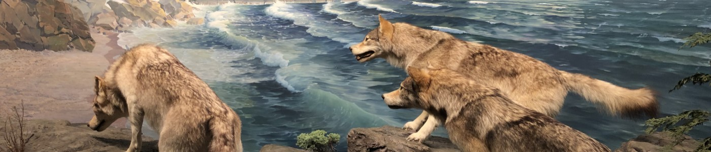 Wolves at Lake Superior shore from University of Minnesota Bell Museum diorama