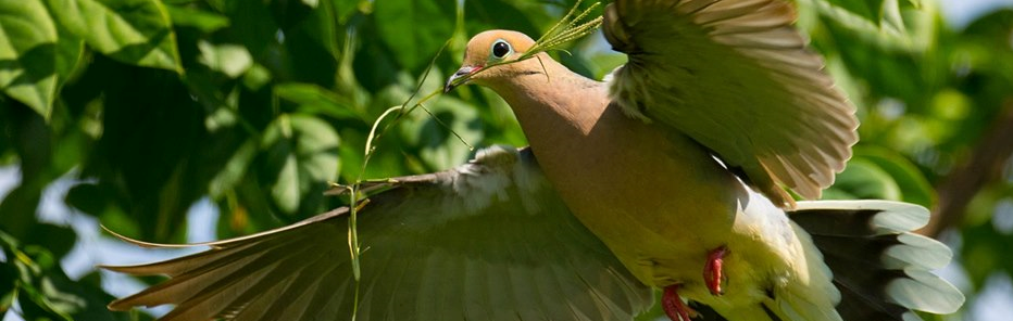 Mourning Dove carrying nest material
