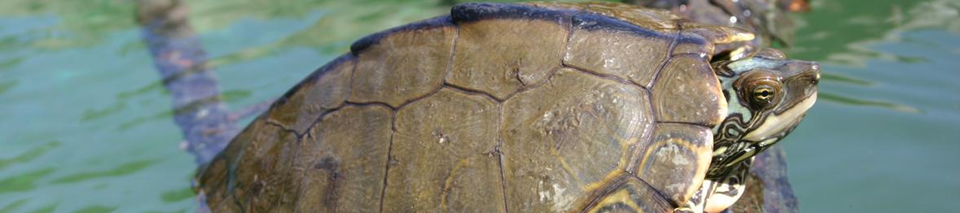 New Map Turtle in Louisiana and Mississippi. Credit: Cris Hagen, UGA, SREL