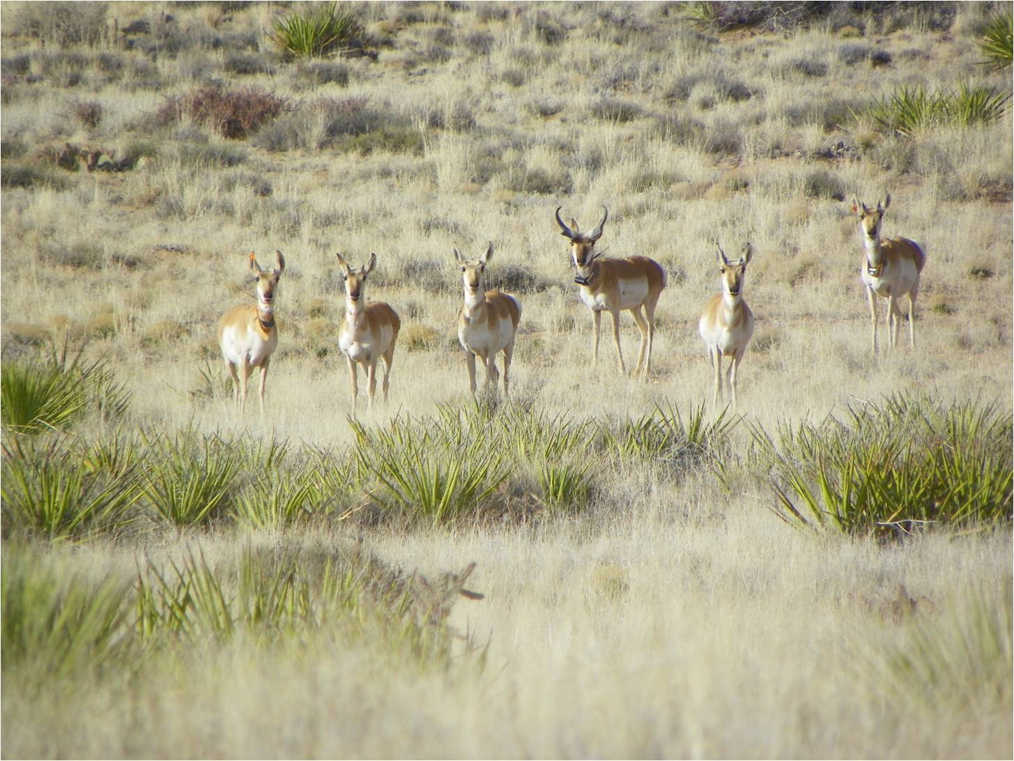 Radiocollared pronghorn on the White Sands Missile Range