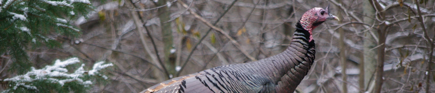 Research conducted by the New York Unit helps to inform management of wild turkey.