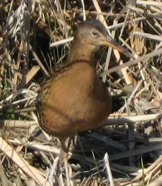 King Rail are a priority management species for the US Fish and Wildlife Service. Through a study on this species, NC Unit researchers are piloting methods to step down population and habitat management objectives for these and other data-limited species using Bayesian belief network models.
