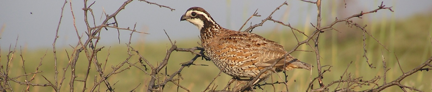 Northern bobwhite in western Oklahoma.