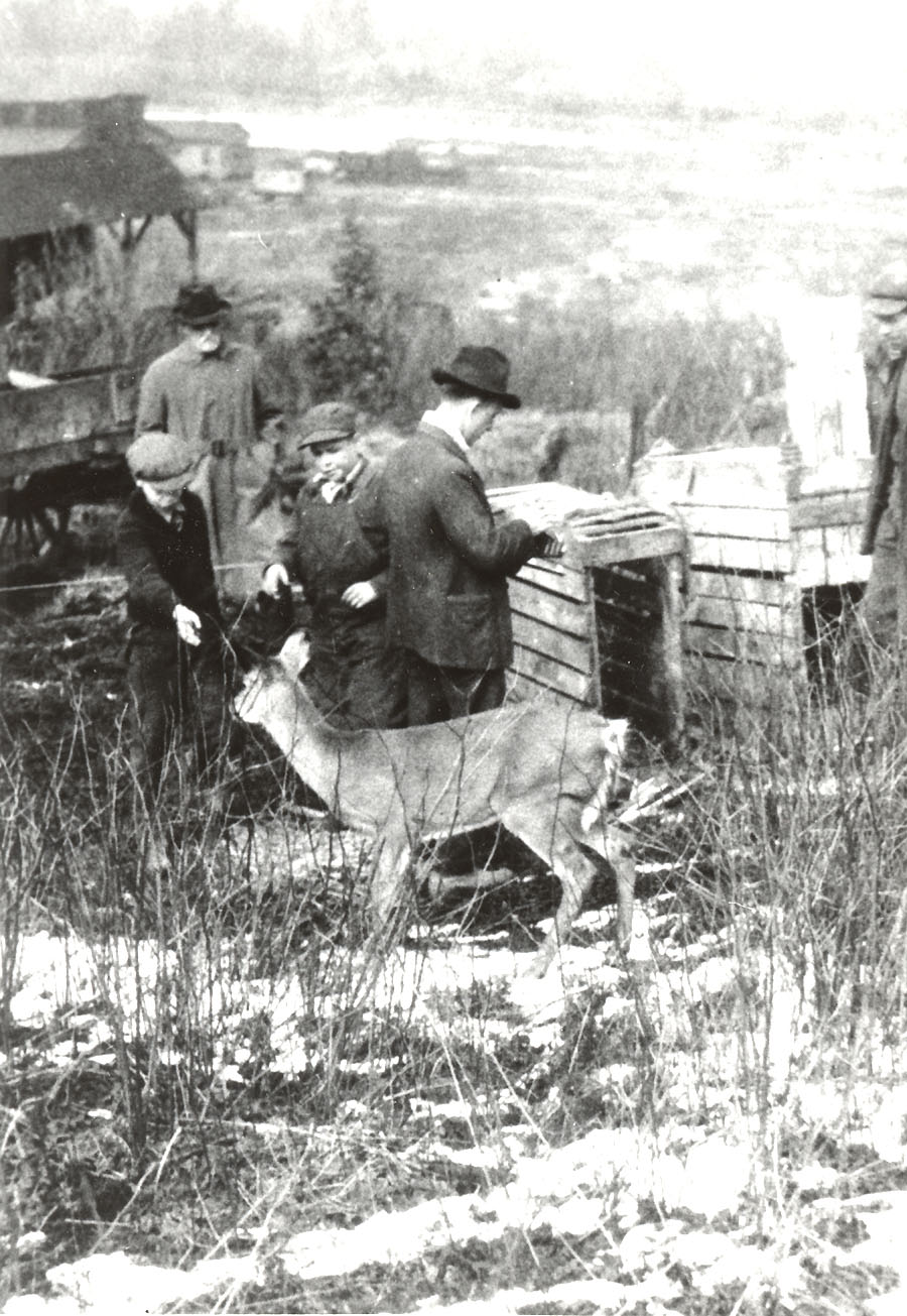 Stocking deer in McKean County, 1923