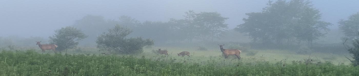 Elk in Pottersdale, PA.