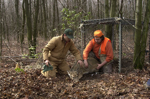 Releasing a white-tailed deer captured in a Clover trap