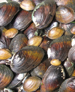 Tennessee rivers support one of the most diverse mussel communities on the planet