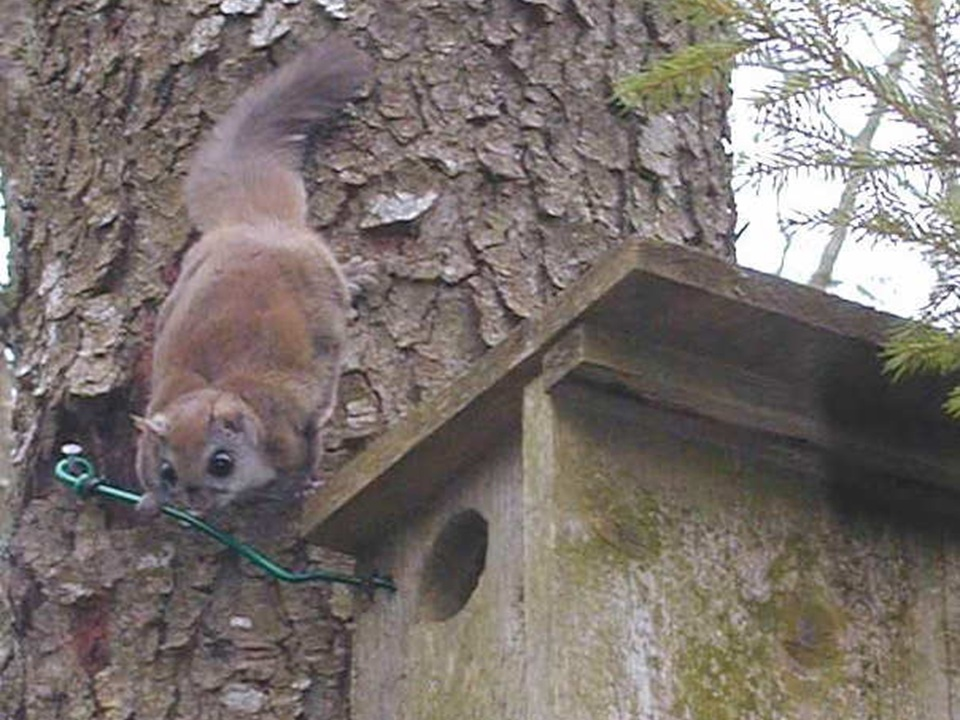 Virginia northern flying squirrel (Glaucomys sabrinus fuscus), an endangered species that occurs in red spruce (Picea rubens) dominated forests in West Virginia and Virginia.