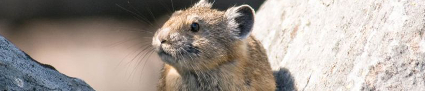 A pika hoists itself between two rocks, photographed during a study for the WY Coop Unit.