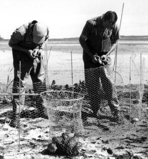 Biologists conducting a waterfowl survey in 1957